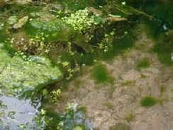 pond support algae powder